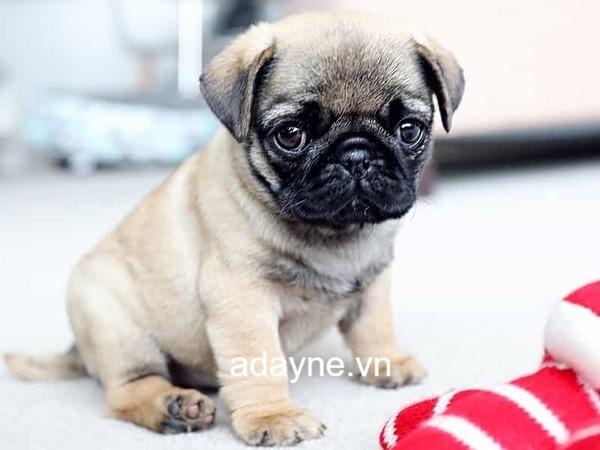 Chó Pug là những cá thể cực kỳ dễ mến