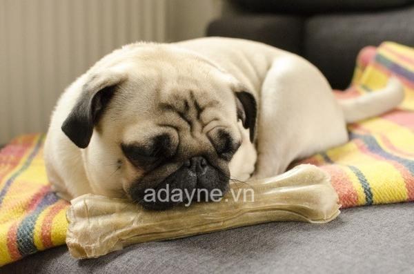 Chó mặt xệ sở hữu đôi mắt to tròn long lanh