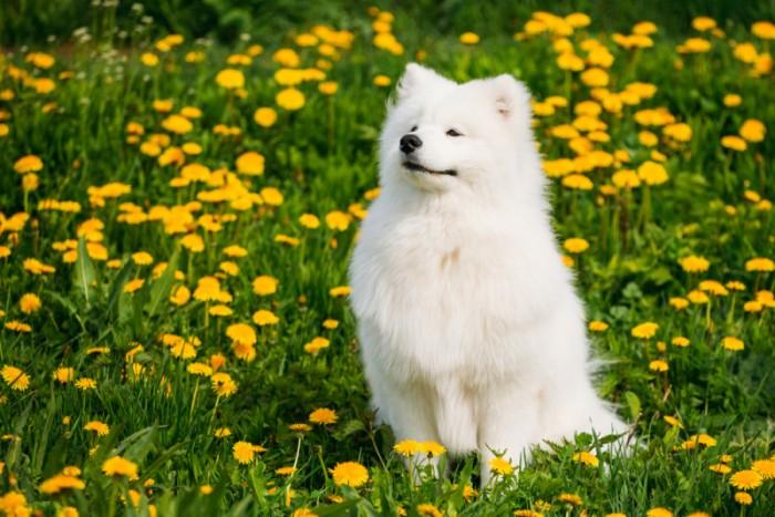 Tắm rửa thường xuyên giúp chú chó Samoyed trở nên đáng yêu hơn.