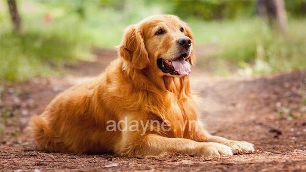 Giá chó Gâu Đần thuần chủng chất lượng cao