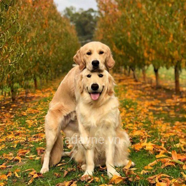 Chó Gâu Đần sống rất tình cảm