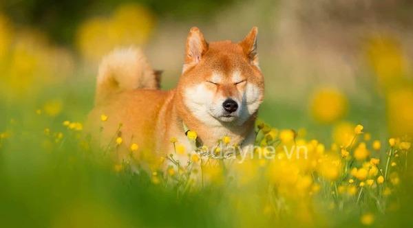 Các chú chó Shiba nhập từ Nhật có độ thuần chủng cao nhất