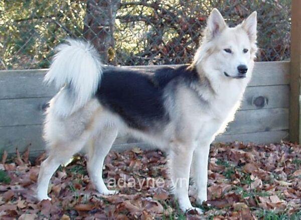 Giá chó husky lai Becgie không quá đắt đỏ
