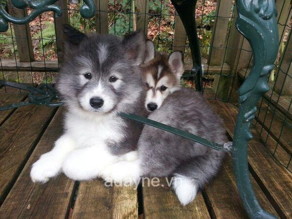 Husky và Samoyed đều là những giống chó lao động có xuất xứ từ nước Nga