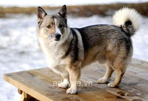Chó Husky lai Corgi sở hữu đôi chân ngắn đáng yêu