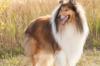 Chó Collie có mấy loại? Giá bao nhiêu? Nguồn gốc và chế độ ăn?