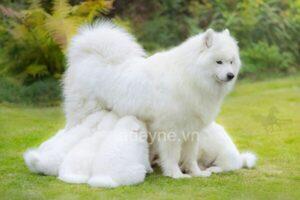 Giống chó Samoyed và kinh nghiệm nuôi chó samoyed đúng cách không thể bỏ qua