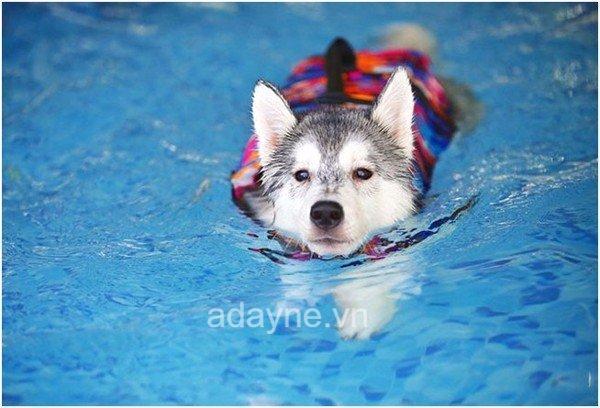 Husky là loài chó thông minh, học hỏi nhanh nhưng tính cách có phần nghịch ngợm, khó bảo