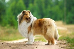 Chó Border Collie có khó nuôi không? Chia sẻ bí kíp quyết nuôi chó Border Collie cực nhàn