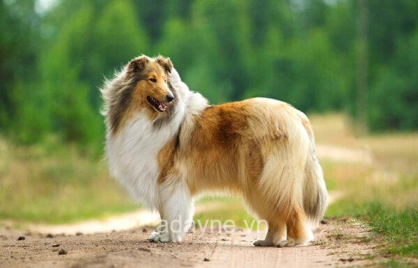 Chó Border Collie là giống chó thông minh