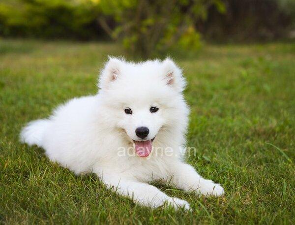 Giống chó Samoyed rất được các bạn đón nhận trong thời gian gần đây.