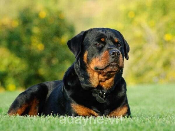Nên chọn nuôi chó Becgie hay Rott?