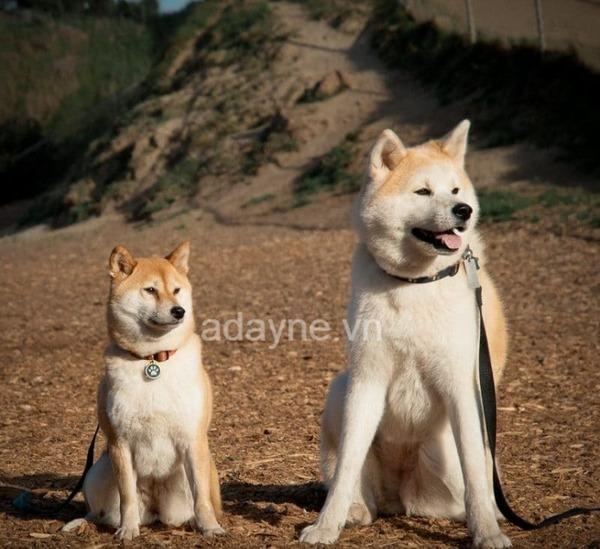Dễ nhầm lẫn giữa giống chó Shiba Inu và Akita Inu.